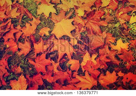 Autumn natural flat background with colorful red maple leaves on a green grass