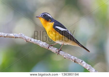 Mugimaki Flycatcher Ficedula mugimaki Male Birds of Thailand