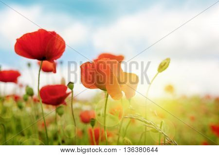 Poppies field in rays sun. Field of red poppies in bright evening light.