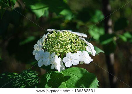 Sunlit guelder rose flower with buds at springtime