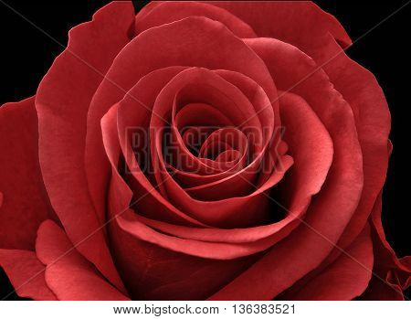 Close up of a red rose on a black background