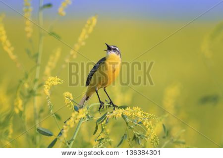 bird the yellow Wagtail sings among the flowers on a Sunny meadow in the summer