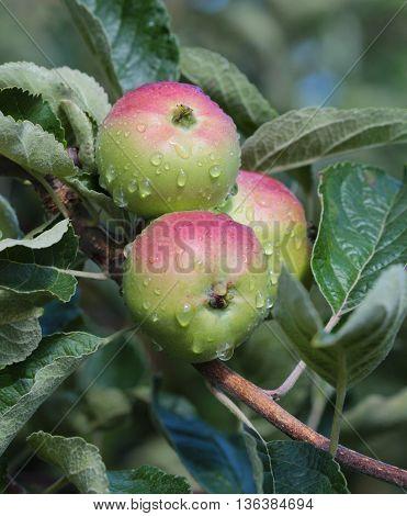 Unripe Apples on tree after the rain