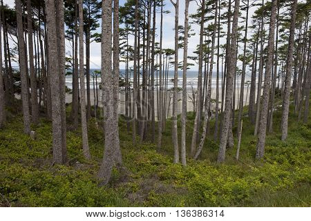Grove of trees by the ocean near Pacific Beach in Washington.