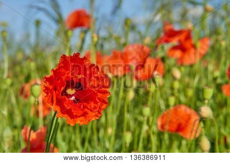 Papaver rhoeas (common names include common poppy corn poppy corn rose field poppy Flanders poppy red poppy red weed coquelicot) blooming on field
