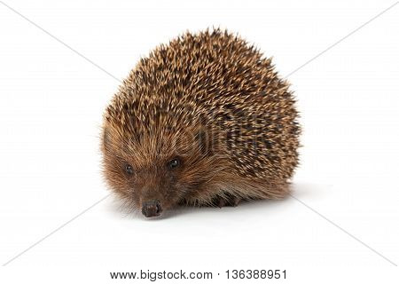 cute young hedgehog isolated on white background