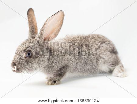 Adorable little gray bunny rabbit, cute animal
