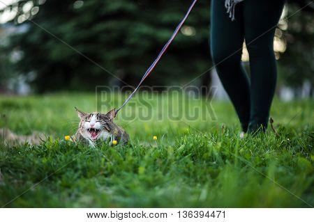 Cat shouts on walk widely having opened a mouth