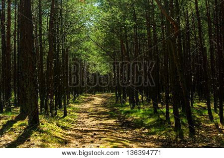 road in the pine forest on summer day. nature background