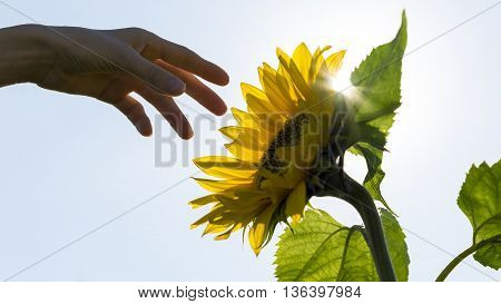 Hand reaching towards a backlit sunflower with sun flare in a conceptual image of nature farming and sustainability.