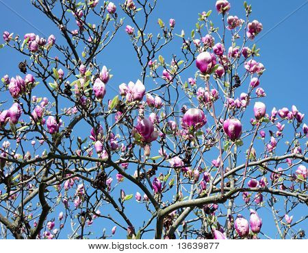 Magnolia Against The Blue Sky