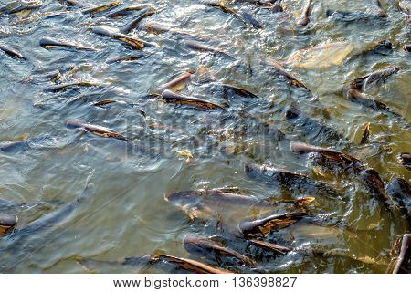Huge quantity of catfish in Chao Phraya river Bangkok Thailand