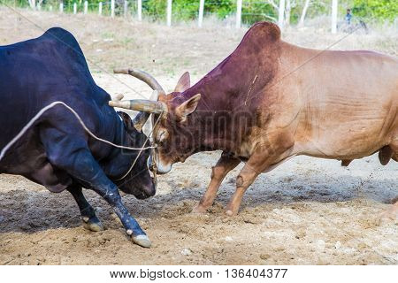 Traditional Cow Charges Into Another Fighting On Game Of The Bull