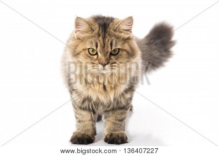 Persian cat standing and looking on white backgroundisolated