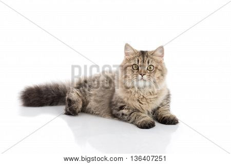 Persian cat lying and looking on white backgroundisolated