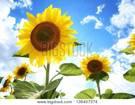 Bright picture of sunflowers in the field on the sunny day.