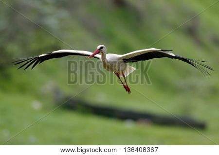 stork flying outdoor