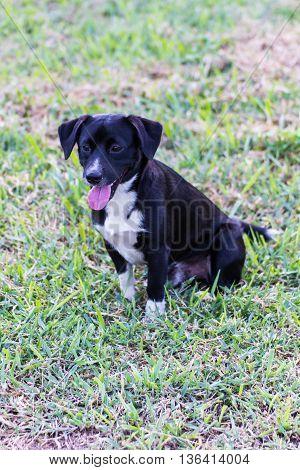 thai black stray dog in lawn , pet