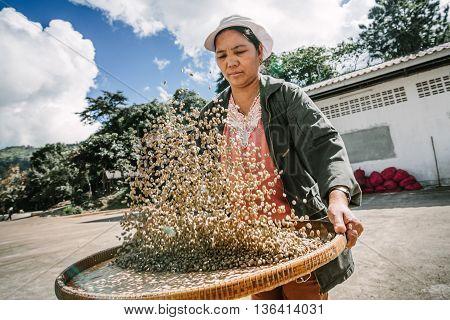 Chiang Rai, Thailand - November 18,2015: Woman selecting coffee beans after drying in the sun at Doi Chang , Chiang Rai, Thailand.