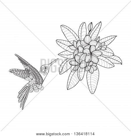 Hummingbird and Bouquet with Plumeria or Frangipani flower on white background. Vector floral elements for coloring book or summer design.