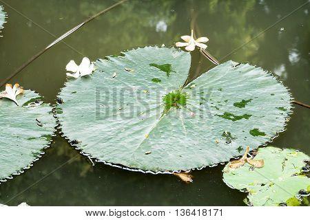 Lotus leaf in pond, Lotus leaf in Thailand