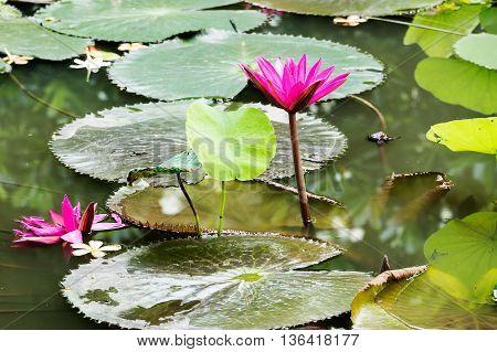 Lotus flower and Lotus flower plants, Lotus flower