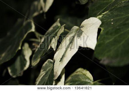 ivy leaf hedera