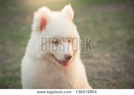Cute little white siberian husky puppy sitting on green grass