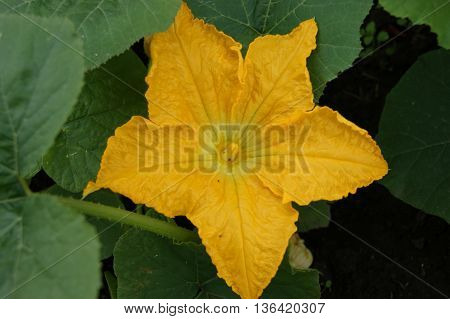 Beautiful yellow flower of the vegetable melon