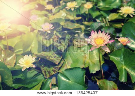 Beautiful waterlily or lotus flower on the farm ,Thailand. Filter : Vintage Effect.