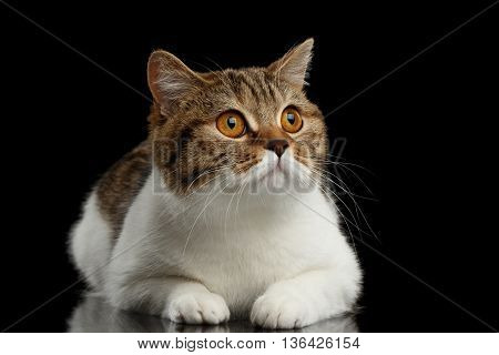 Purebred Scottish Straight Male Cat Lying on Isolated Black Background, Front view, Curious Looking up, Spot with white Cat