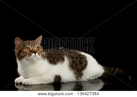 Purebred Scottish Straight Male Cat Lying on Isolated Black Background, Side view, Curious Looking up, Spot with white Cat
