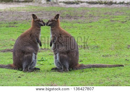 Kangaroo swamp wallaby (Wallabia bicolor) (Macropus giganteus) in its natural habitat in the grass.