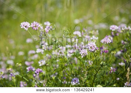 Pink flowers in a meadow close-up ,