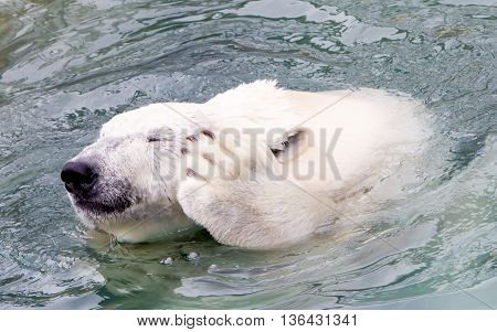 Funny Close-up Of A Polarbear (icebear)