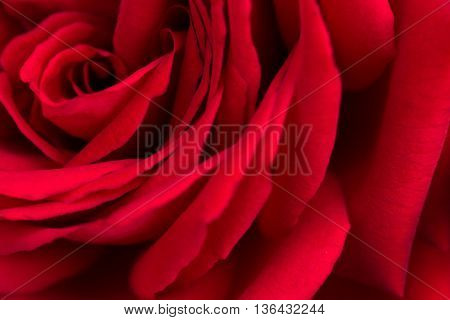 petals big bud of a red rose closeup
