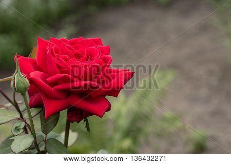 red rose flower blossom in the garden