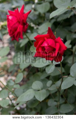 beautiful red rose blooming in a garden