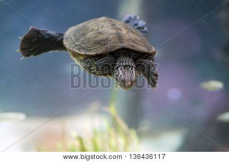 Diamondback Terrapin Turtle Swimming Underwater Close Up