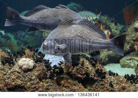 Black Drum Atlantic Ocean Fish Underwater Close Up