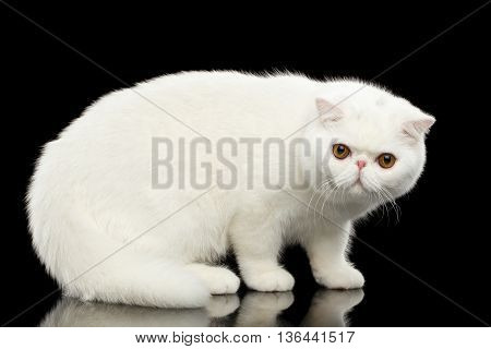 Unusual Pure White Exotic Cat Standing with Big Red Eyes on Isolated Black Background Prodile view Furry Coat