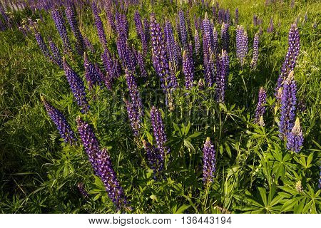 Purple Lupine Field Landscape