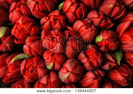 Fresh red tulips with green leaves nature spring background. flower texture