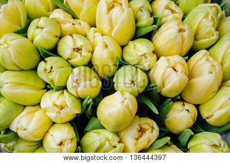 Fresh yellow tulips with green leaves nature spring background. flower texture