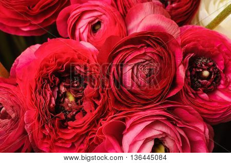 Close up of vivid red ranunculus flower background