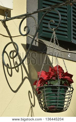 Hanging basket with poinsettia plant from wrought iron bracket in Madeira Portugal