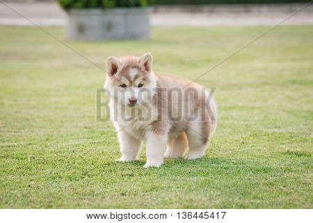 Cute siberian husky puppy urinating on green grass