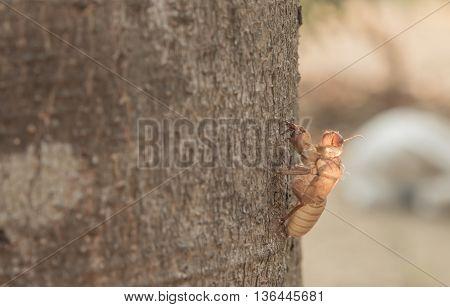 Husk of cicada Husk of cicada Husk of cicada Husk of cicada Husk of cicada