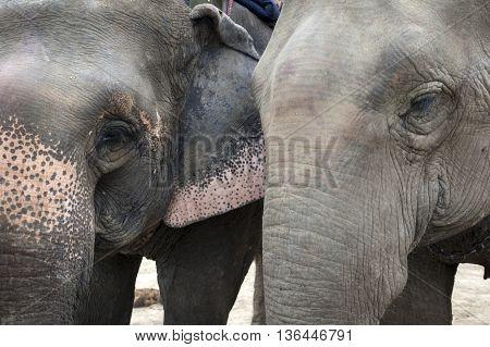 Close-up portrait of two Asian elephants (Elephas maximus)