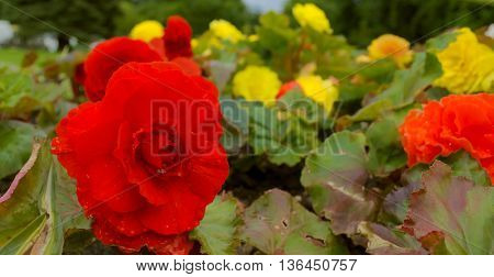 Bed of red and yellow flowers covered with rain